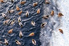Canards nageant sur l'étang d'hiver Photos libres de droits