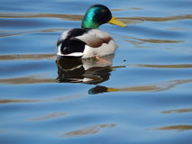 Canards nageant sur l'eau Images libres de droits