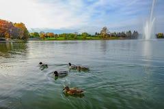 Canards nageant sur la cosse Image libre de droits