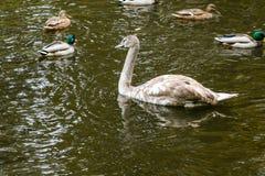 Canards nageant sur le lac Photo libre de droits