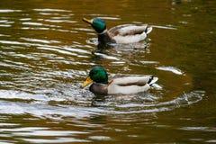 Canards nageant sur le lac Image libre de droits
