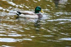 Canards nageant sur le lac Images libres de droits