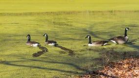 Canards nageant sur un étang couvert d'algues Photos libres de droits