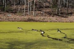 Canards nageant sur un étang couvert d'algues Image stock