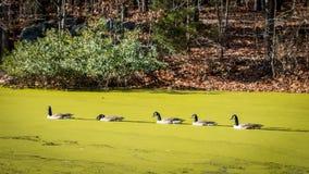 Canards nageant sur un étang couvert d'algues Photographie stock libre de droits