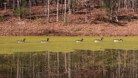 Canards nageant sur un étang couvert d'algues Photographie stock