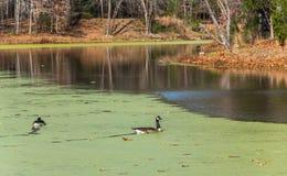 Canards nageant sur un étang couvert d'algues Images libres de droits