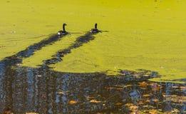 Canards nageant sur un étang couvert d'algues Photo libre de droits
