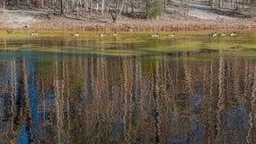 Canards nageant sur un étang couvert d'algues Photo stock