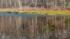 Canards nageant sur un étang couvert d'algues Image libre de droits