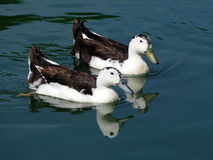 Canards noirs et blancs Photographie stock