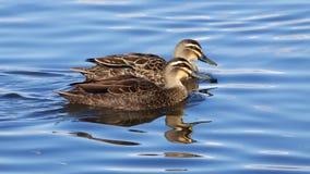 Canards noirs Pacifiques Images stock