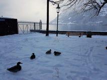 Canards par le bord de lac photographie stock libre de droits