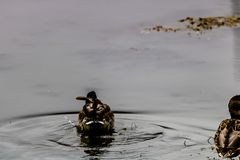 Canards parc national sur lacs vermeils, Banff, Alberta, Canada Photos libres de droits