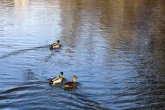 Canards pendant l'automne Image stock