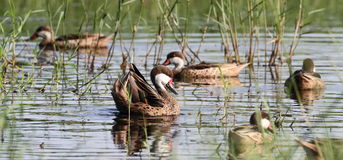 Canards pilets Blancs-cheeked Image stock