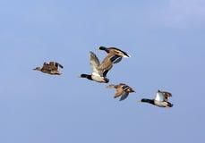 Canards (platyrhynchos d'ana), troupeau volant photo libre de droits