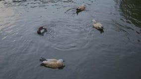 Canards promenade et bain dans le zoo clips vidéos