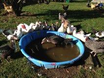 Canards recueillis autour de la piscine Photos libres de droits