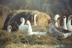 Canards sauvages Photos stock