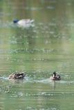 Canards sauvages Photo libre de droits