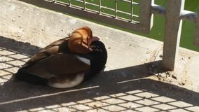 Canards sauvages Image stock