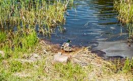 Canards sauvages Images libres de droits