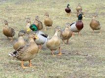 Canards sauvages dans le village sur l'herbe Images stock