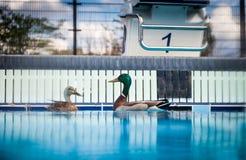 Canards sauvages dans une piscine Oui Que peut j'a dit ! ? Image stock