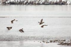 Canards sauvages de canard Photographie stock libre de droits