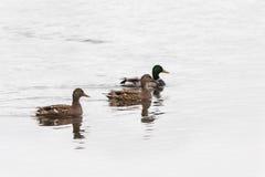Canards sauvages de canard Photo libre de droits