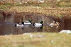 Canards sauvages de colvert dans le temps de source de Ths Image stock
