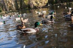 Canards sauvages en gros plan et canards sur l'étang du parc urbain Horizon diagonal photos libres de droits