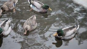 Canards sauvages en rivière d'hiver banque de vidéos