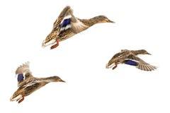 Canards sauvages Photographie stock libre de droits