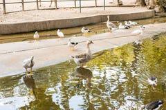 Canards sauvages et oie Photo libre de droits