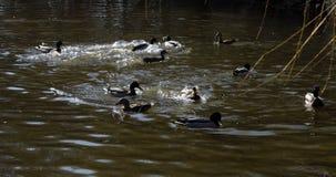 Canards sauvages jouant et éclaboussant l'eau régénératrice photographie stock