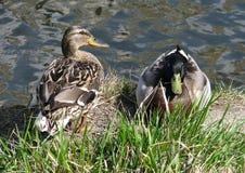 Canards sauvages : m?le et femelle photographie stock