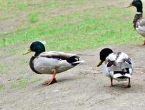 Canards sauvages marchant sur la terre Photo stock