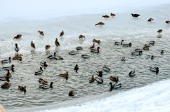 canards sauvages nageant en rivi?re photos libres de droits