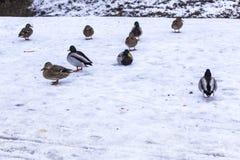 Canards sauvages sur la neige en janvier Images libres de droits