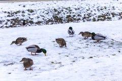 Canards sauvages sur la neige en janvier Image libre de droits