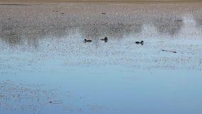 Canards sauvages sur un lac banque de vidéos