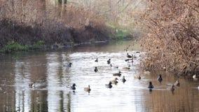 Canards sauvages sur une rivière banque de vidéos