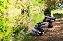 Canards se reposant sur la banque d'une voie d'eau de canal Image stock