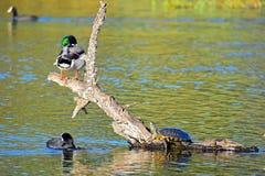 Canards se reposant sur un rondin avec un terrapin images libres de droits