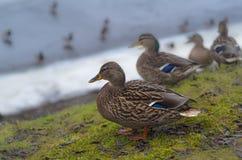 Canards se tenant dans une rangée Photo stock