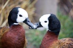 Canards siffleurs au visage pâle - viduata de Dendrocygna Image stock
