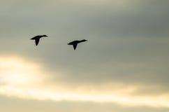 Canards silhouettés pilotant au soleil le ciel réglé Images libres de droits