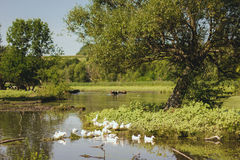 Canards simming en rivière Photo libre de droits